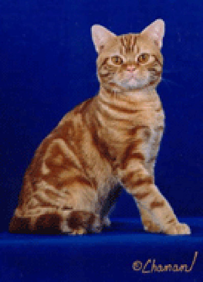 American Shorthair Kit...