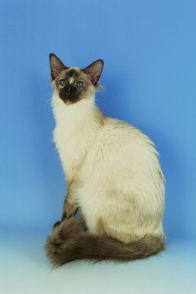 Balinese Kittens For Sale