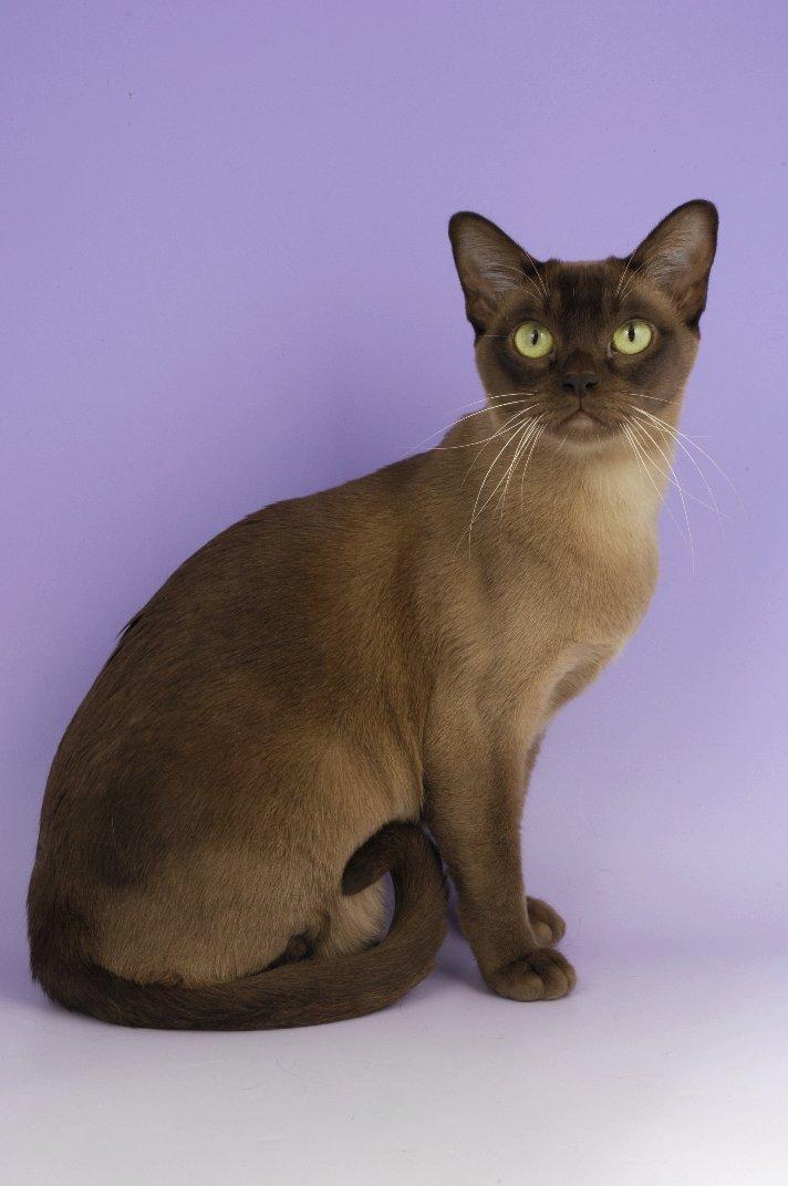 http://www.catcraze.com/images/breeds/burmese__european_burmese_27.jpg