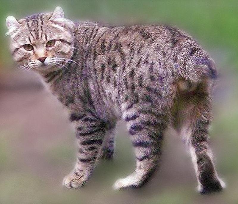 Pada tahun 1995 kucing jungle curls dikacuk dengan kucing desert lynx