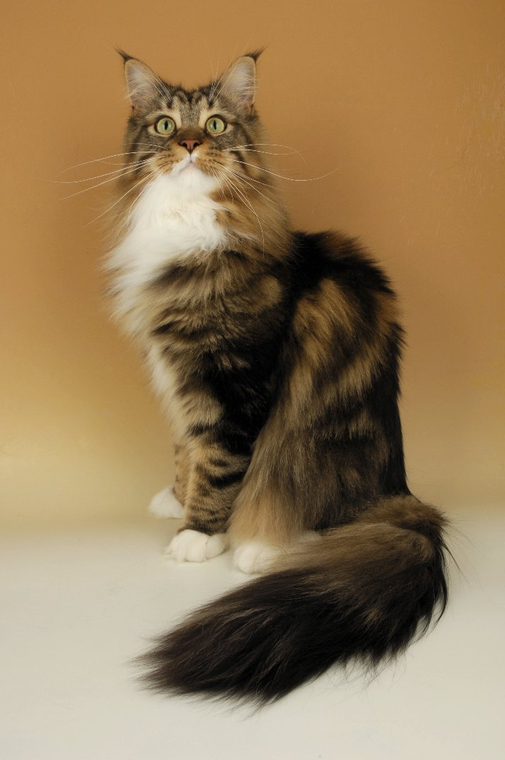 Maine Coon Kittens For...