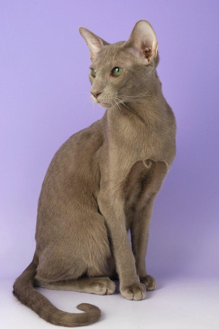 Oriental Shorthair Kittens For Oriental Cat Breeders Illinois