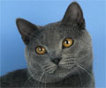 Chartreux Personality
