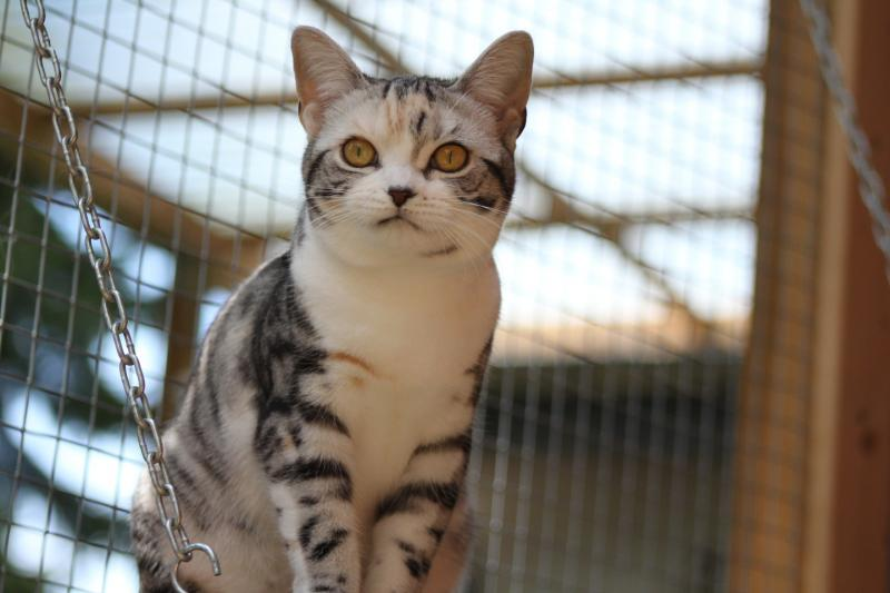 Eleveur American Shorthair Quebec American Shorthair kittens For