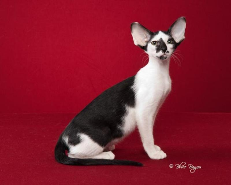Oriental Shorthair kit...