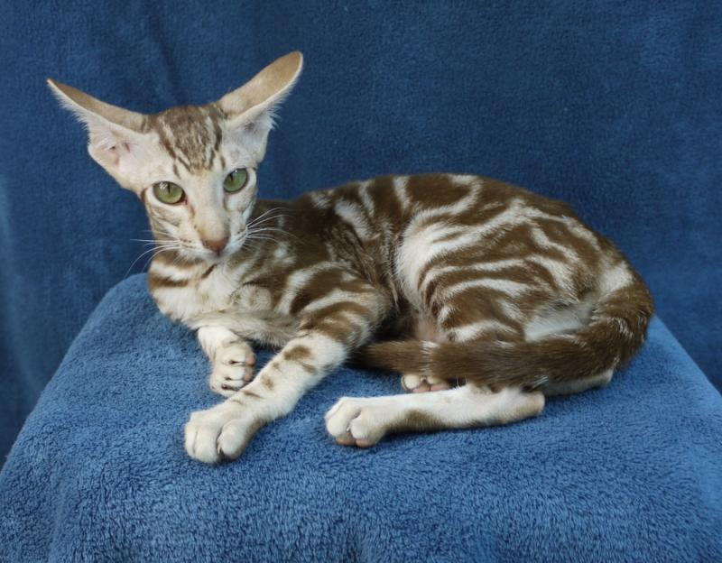 Oriental Shorthair kittens Oriental Cat Breeders Illinois