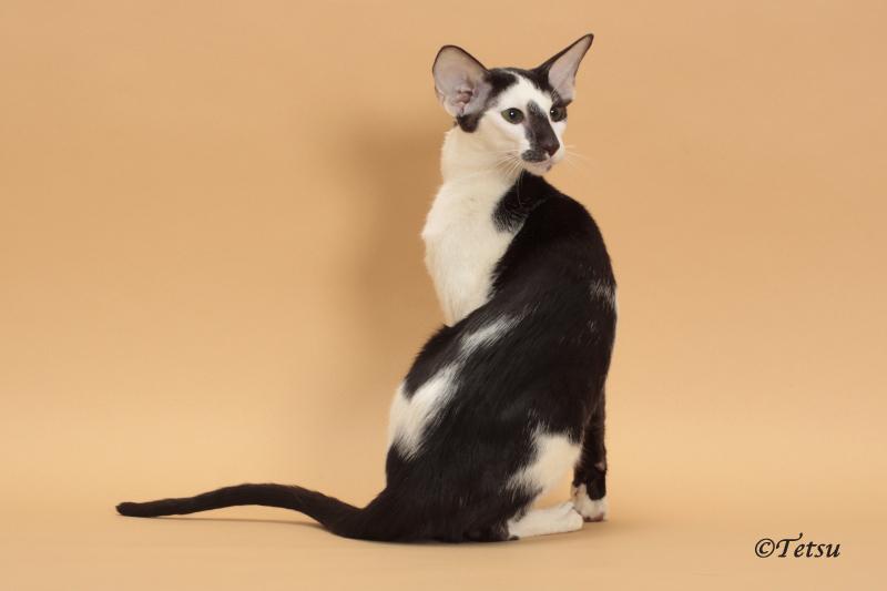Oriental Shorthair cats Oriental Cat Breeders Illinois